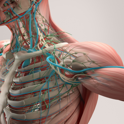 Investigación - Anatomía